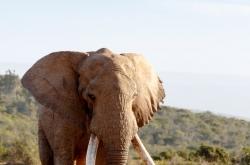 Elephant walking on the dirt road